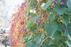 Olympus OM-1n, Ivy Closeup